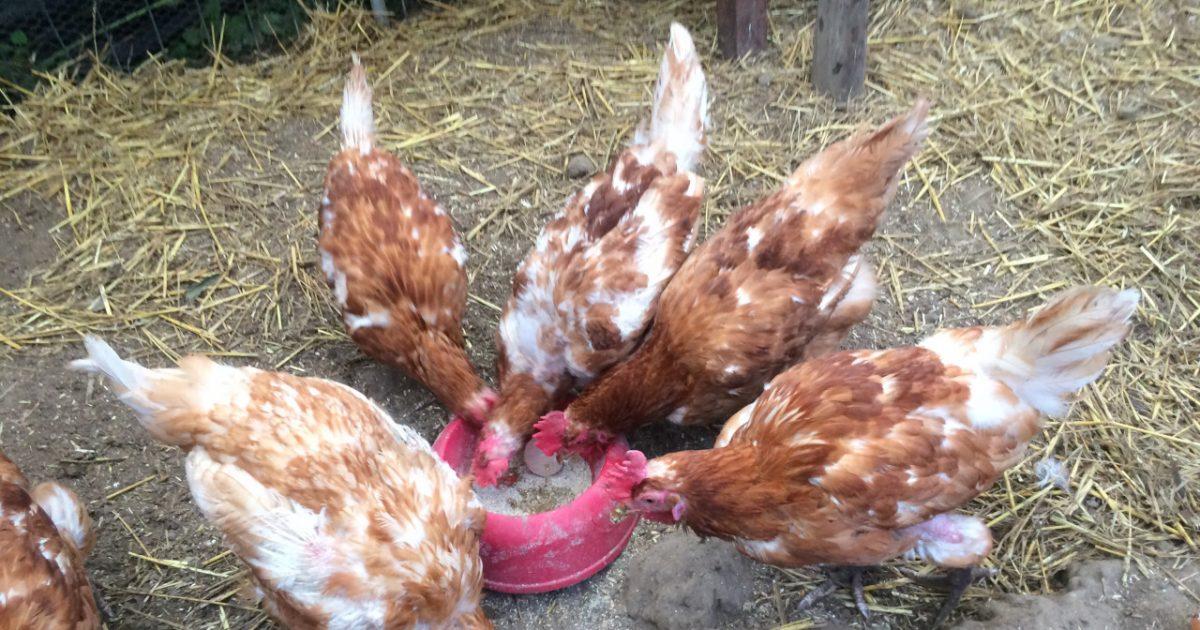 De kippen in de kippenopvang in Ochten.