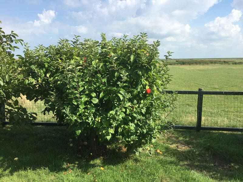 appelboom van een gejutte appel